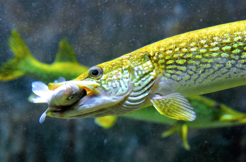 Ternyata Ini Rahasianya 5 Langkah Jitu Melatih Menu Makan Bagi Ikan Predator Nakama Aquatics