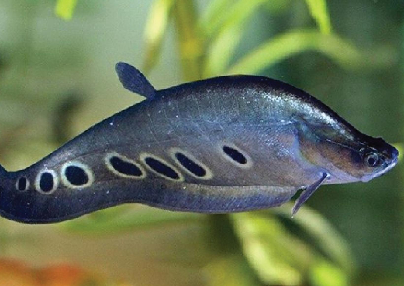 6 Ikan Predator Air Tawar Tipe Tengah Yang Populer ...